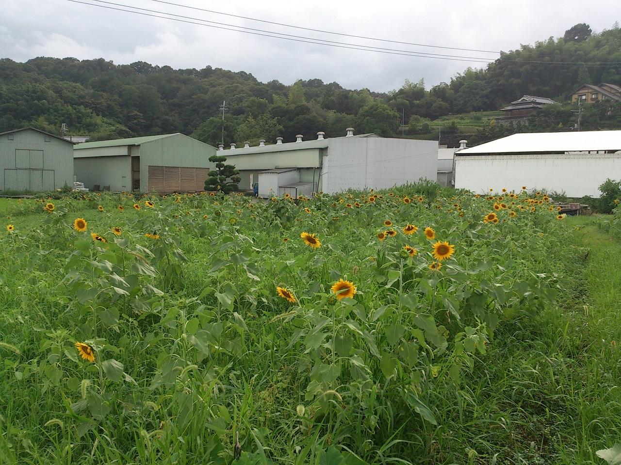和歌山県 ひまわり畑 満開