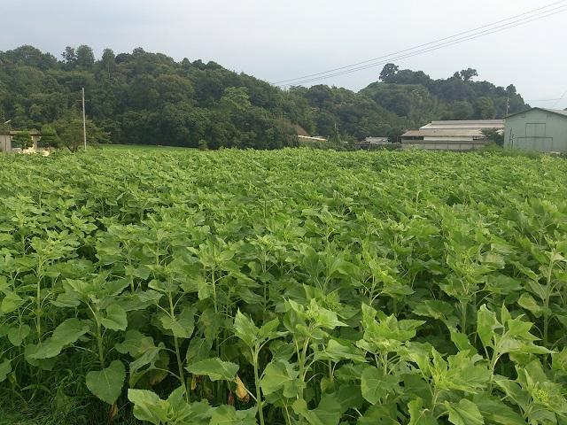 2014 ひまわり畑 FMはしもと 高野山麓