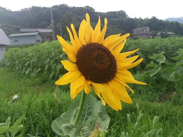 2014 ひまわり 一輪 和歌山 奈良県 五條市