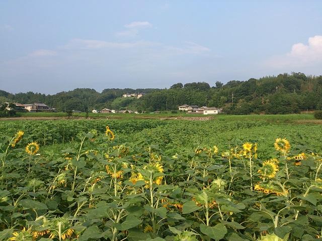2014 ひまわり畑 和歌山 奈良 橋本市 五條市