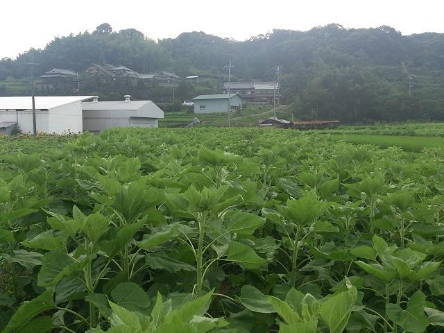 2014 ひまわり 近畿 関西 和歌山