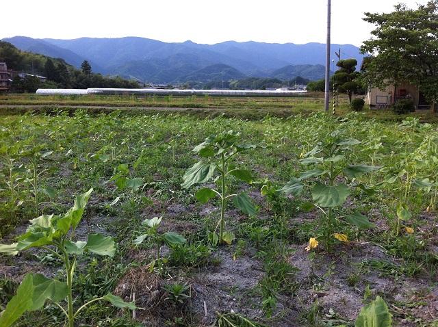 昨年の種が発芽 ひまわり 和歌山県橋本市