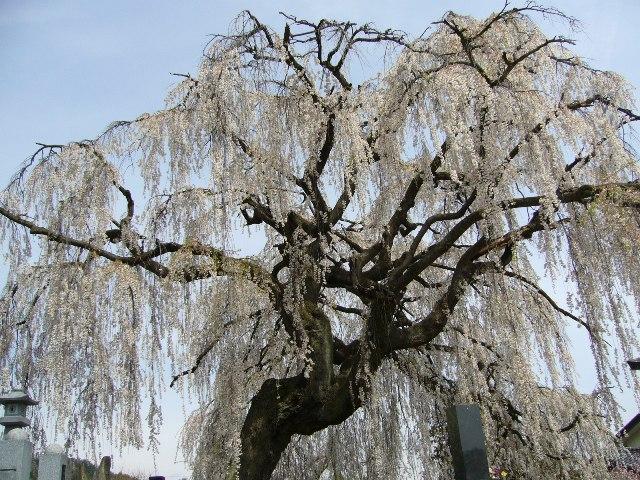 長野県安曇野市 しだれ桜