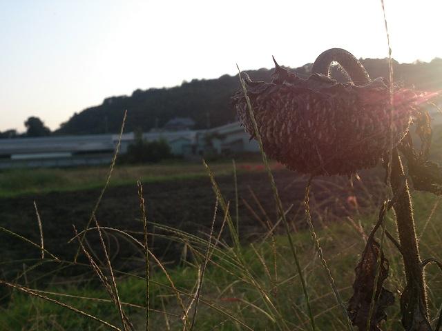 ひまわり 種 夕日 季節外れ