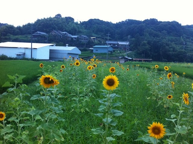ひまわり畑 和歌山県 奈良県 名所 FMはしもと