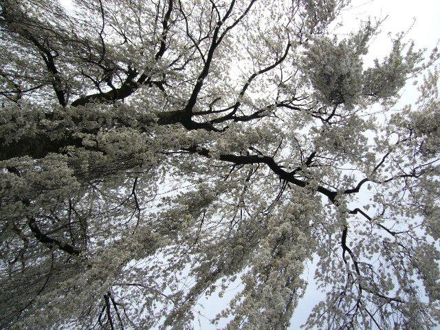 見事にふりそそぐしだれ桜