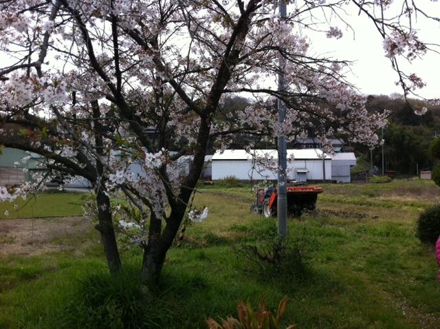 和歌山県 ひまわり畑 トラクター 桜