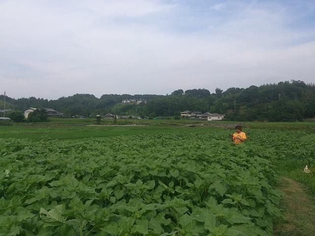 和歌山県 ひまわり畑 名所 FMはしもと