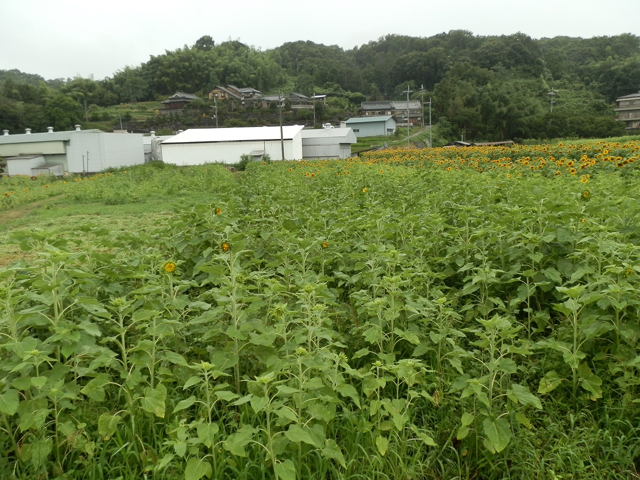 橋本市 ひまわり畑 満開
