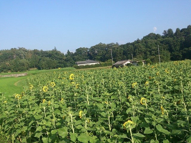 奈良県 五條市 ひまわり 2014