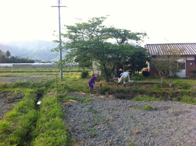 和歌山県 田んぼ ひまわり畑
