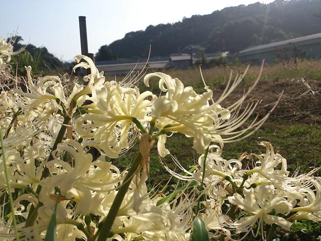 白い曼珠沙華 彼岸花 奈良県 和歌山県