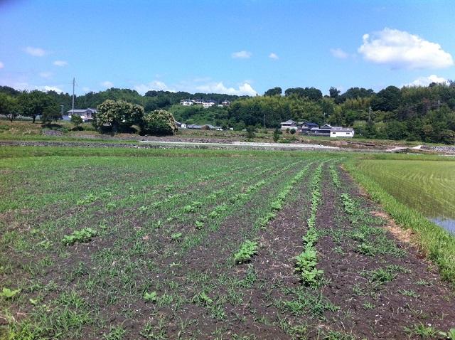 3週間 ひまわり 成長 奈良県五條市